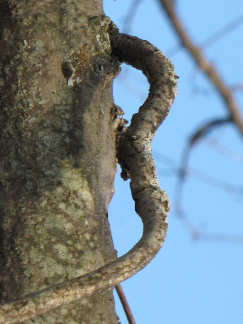 the letter B seen in a twisted branch