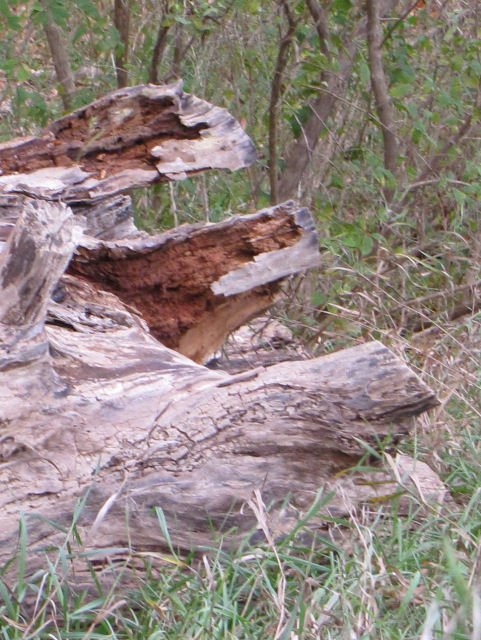 the letter E seen in a rotten log