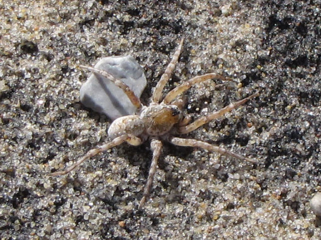 wolf spider
