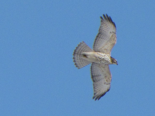 immature red-tail hawk