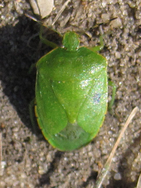 green stink bug on ground