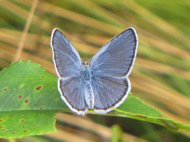 male Karner blue