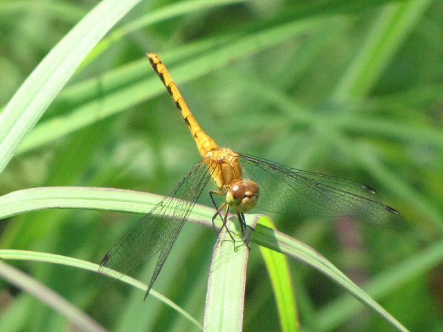 female white-faced meadowhawk