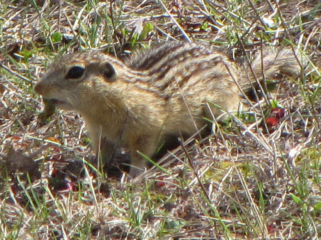 13-lined ground squirrel eating a slug