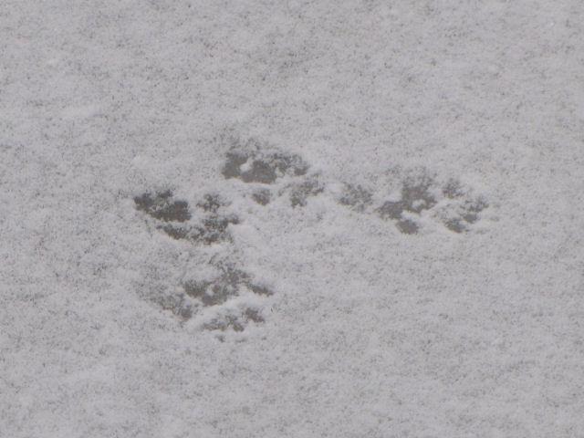 gray squirrel tracks