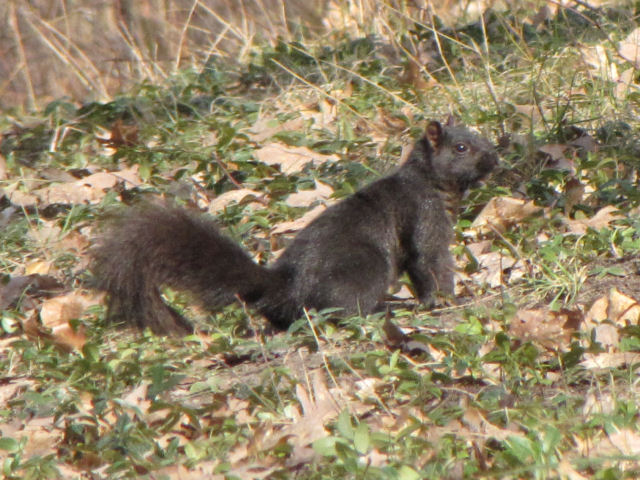 black gray squirrel