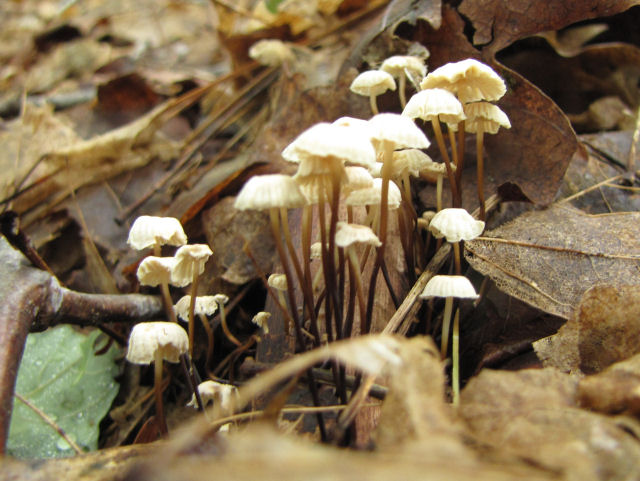 pinwheel mushroom