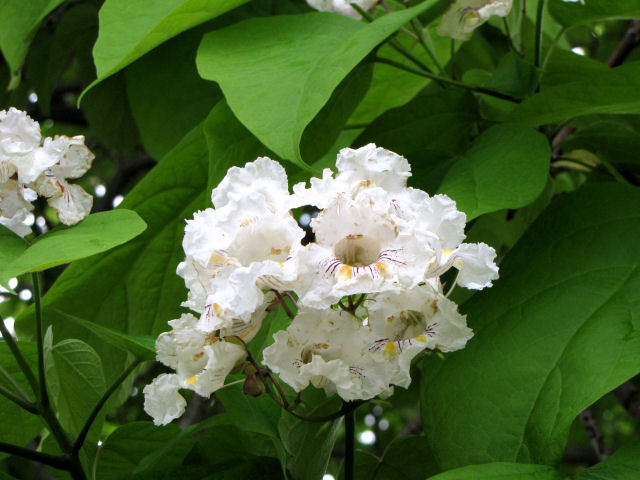 catalpa leaves and blossoms