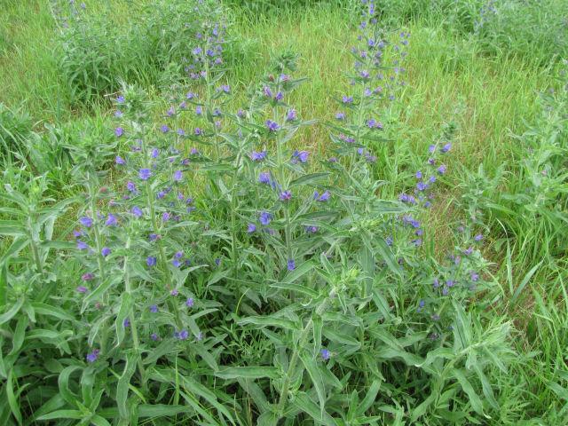 viper's bugloss plants