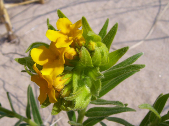 hairy puccoon