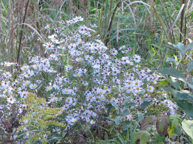 bushy aster
