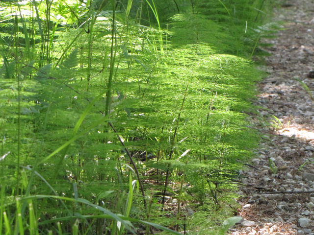 woodland horsetail