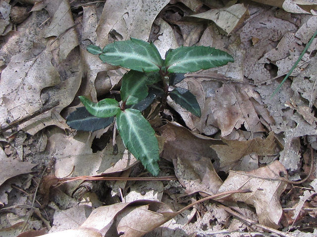 spotted wintergreen