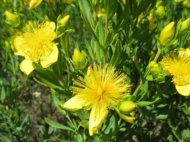 great St Johnswort