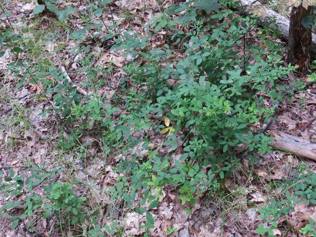 wand-like bush clover
