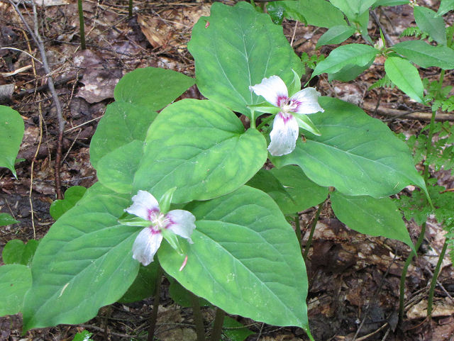 painted trillium