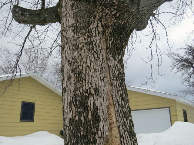 ash killed by emerald ash borer