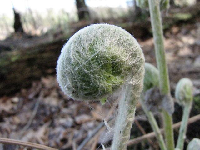 marginal wood fern