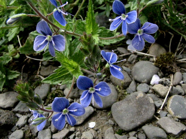 birds-eye speedwell