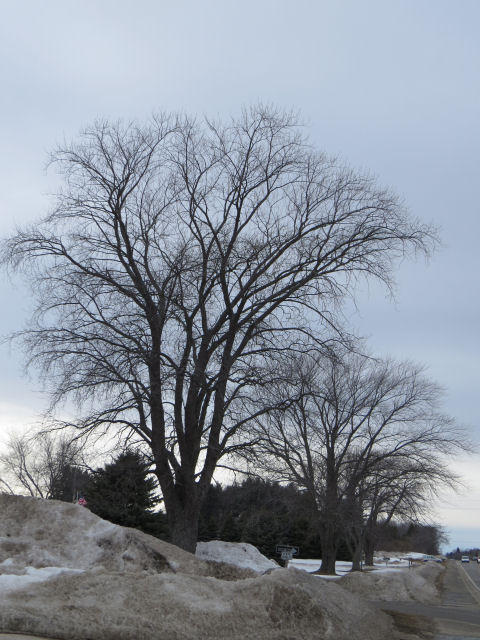 silver maple silhouette