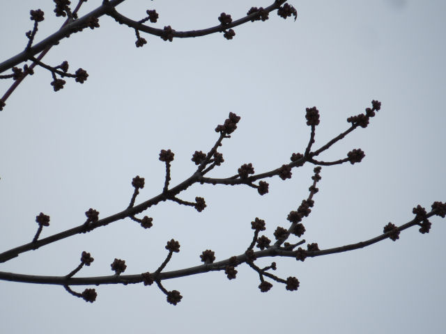 silver maple buds