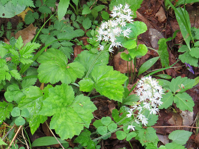 Allegheny foamflower